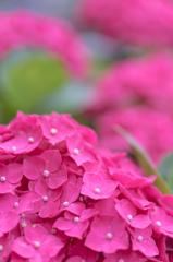 情熱の紫陽花