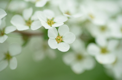白無垢の花