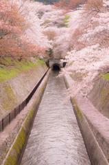 春は淡海の疎水に通じ