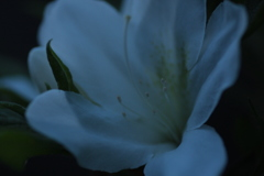 ツツジの開花