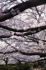 花咲爺さん枯れ木に花を咲かせましょう