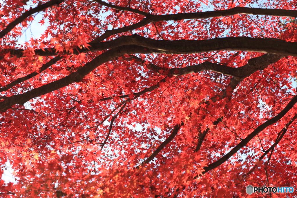 見上げれば紅葉