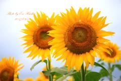 普通の向日葵