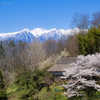 谷村家の桜
