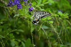デュランタとアゲハ蝶