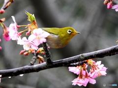 春メジロ21