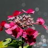 紫陽花21-12