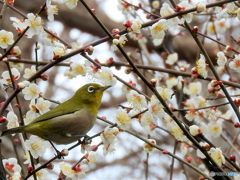 春メジロ03
