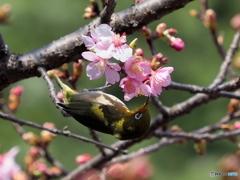 春メジロ184