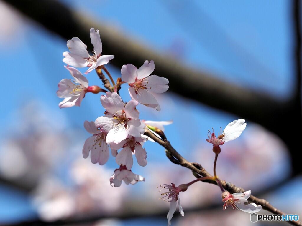 桜21-⑤(エドヒガン)