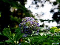 紫陽花19-③