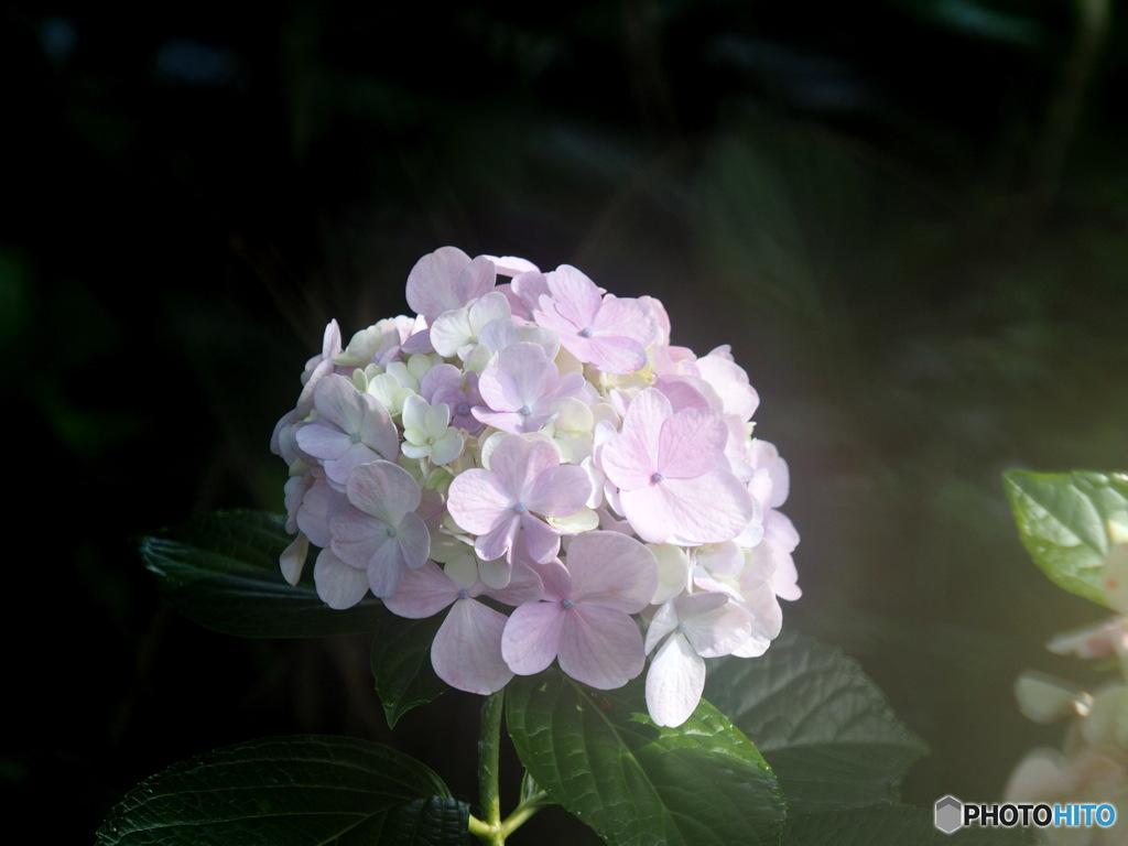 紫陽花20-19