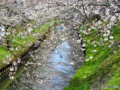 桜20-②