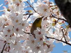 春メジロ190
