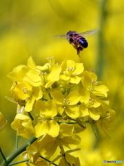 花と蜂19-①