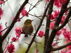 春メジロ175
