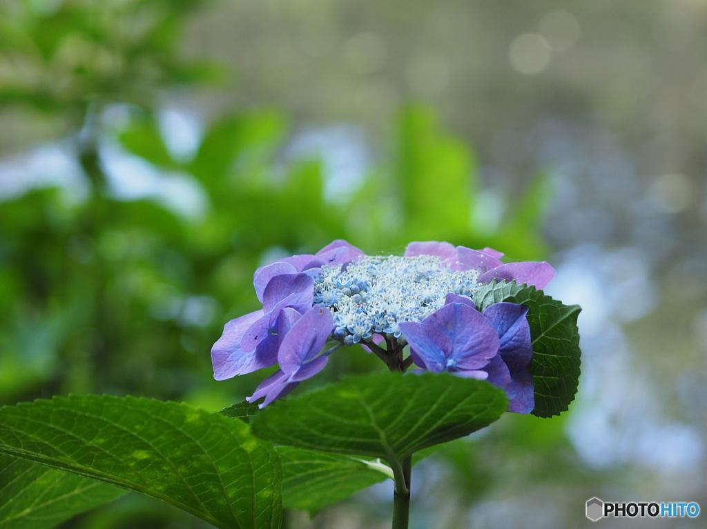 紫陽花20-15