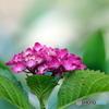紫陽花21-11
