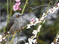 春ヒヨドリ01