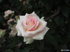 バラ19-③