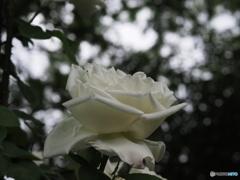 バラ19-④
