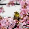 春メジロ19
