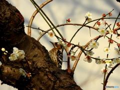 梅にコゲラ