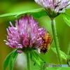 花と蜂20-⑤