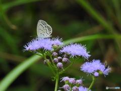 花と蝶19-13