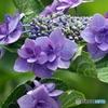 紫陽花21-14