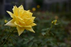 濡れた薔薇-2