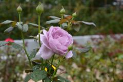 濡れた薔薇-3