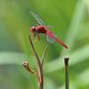 枯れ菖蒲に赤い花
