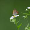 姫女苑と蝶