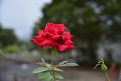 濡れた薔薇-1