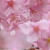 どっぷり桜湯