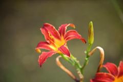 赤い野萱草