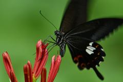 黒蝶の促し