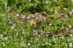 紫鷺苔に止まる-1