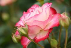薔薇の横顔