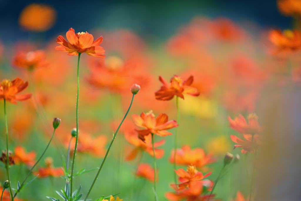 黄花秋桜いっぱい