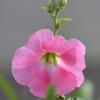 立葵の残り花