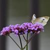 三尺バーベナと紋白蝶