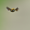 Flying carpenter bee from the front