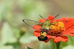 花には蛾も-1