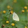 白蝶のメルヘン-2