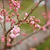 桜も変わり