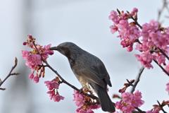 桜ヒヨ-1