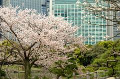 浜離宮の桜5