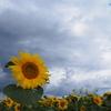 向日葵と暗雲